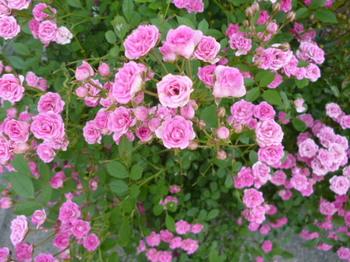バラの公園2012年初夏 036.JPG