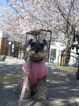 幡ヶ谷緑道の桜 005.JPG
