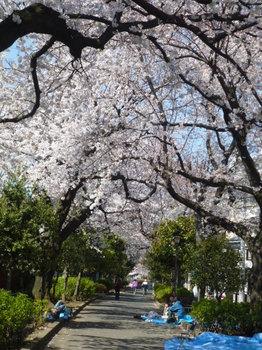 幡ヶ谷緑道の桜 013.JPG