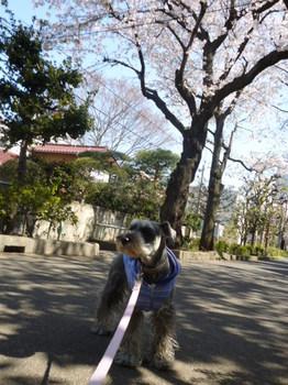 幡ヶ谷緑道の桜 016.JPG