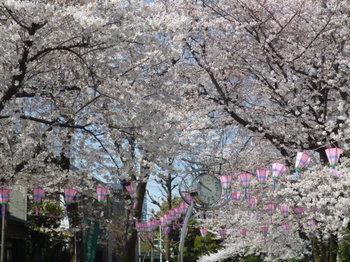 幡ヶ谷緑道の桜 027.JPG
