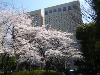 新宿中央公園の桜2012年 013.JPG