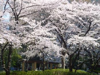 新宿中央公園の桜2012年 014.JPG