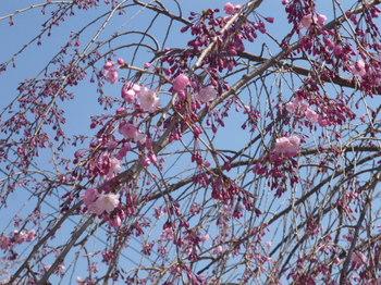 新宿中央公園の桜2012年 035.JPG