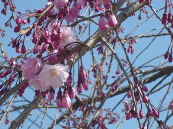 新宿中央公園の桜2012年 036.JPG