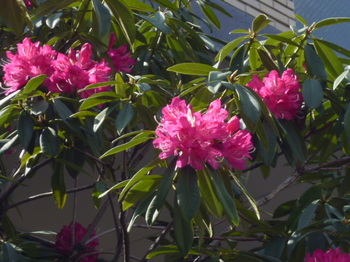春の花2012年4月 020.JPG