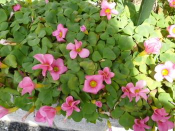 春の花2012年4月 029.JPG