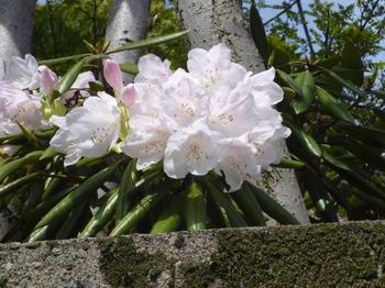 春の花2012年4月 030.JPG