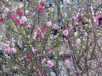 本町さくら公園の桜 004.JPG