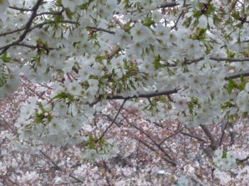 本町さくら公園の桜 008.JPG