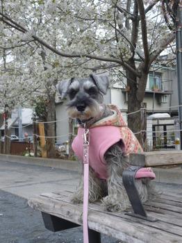 本町さくら公園の桜 016.JPG