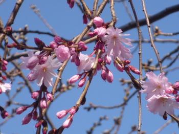 本町桜公園の桜とメグ 003.JPG