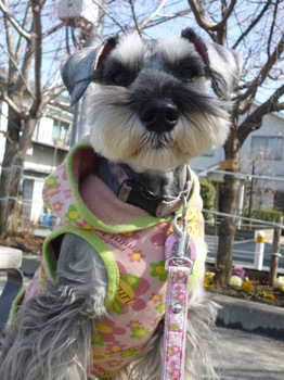 本町桜公園の桜とメグ 007.JPG
