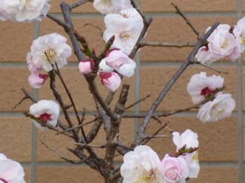 本町桜公園の桜とメグ 018.JPG