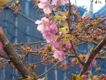 本町桜公園の桜とメグ 019.JPG