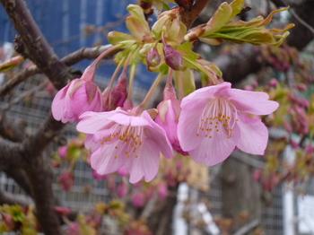 本町桜公園の桜とメグ 021.JPG