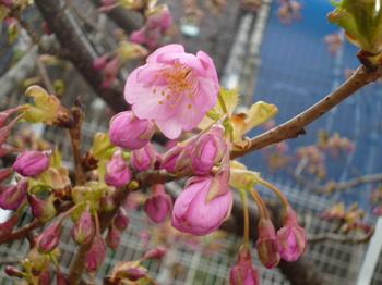 本町桜公園の桜とメグ 024.JPG