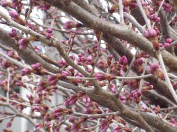 本町桜公園の桜とメグ 026.JPG