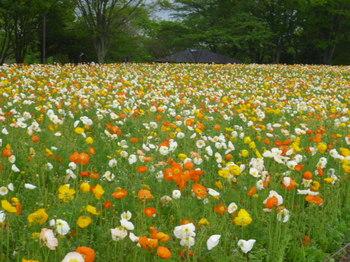 2012年昭和記念公園と花めぐり(3) 017.JPG