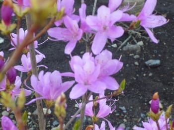 2012年4月メグのお家の花 007.JPG