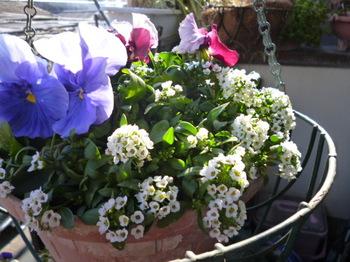 2013春ベランダの花 022.JPG