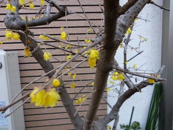 2013春ベランダの花 008.JPG