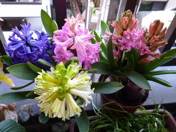 2013春ベランダの花 017.JPG